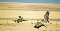 Birds in Flight over Field
